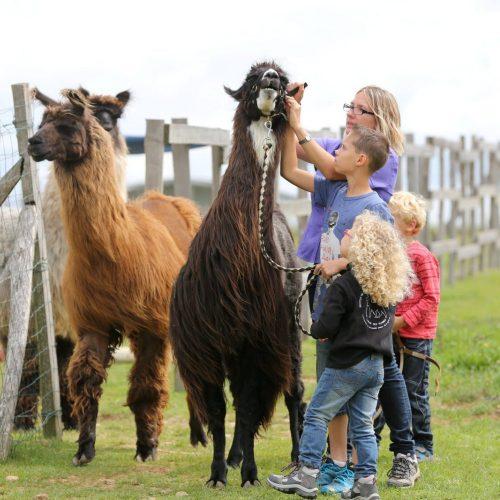 Lamas des Plaines Tendres Oreilles