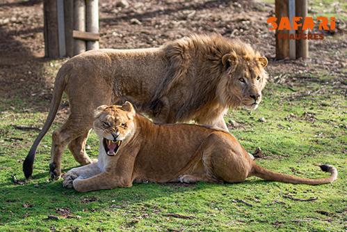 lion-lionne-safari-peaugres